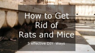 Photo of Five Effective Ways of Getting Rid of Rats and Mice – Easy DIY Solutions