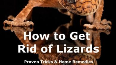 Photo of How to Get Rid Of Lizards – A Guide to Make Your Home Lizards Free