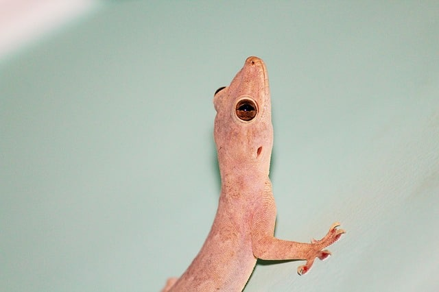 how to get rid of lizards in home